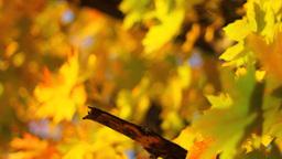 Maple Tree Stock Video Footage