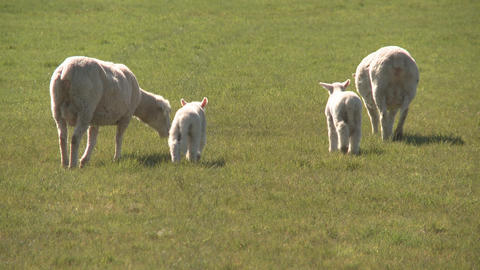 sheep and lambs walk away Stock Video Footage