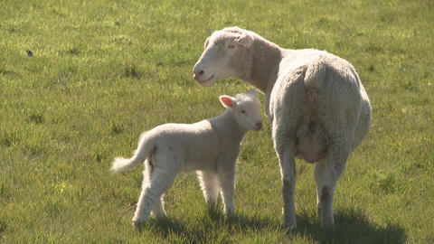 lamb and ewe close Stock Video Footage