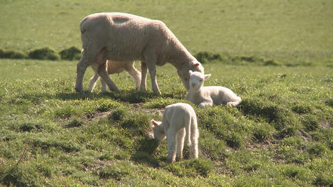 spring lambs Footage