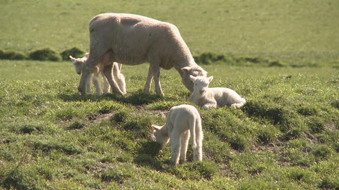 spring lambs Stock Video Footage