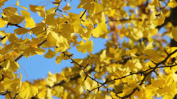 Yellow Leaves Stock Video Footage