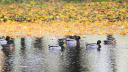 Lake coastline and ducks in the water Stock Video Footage