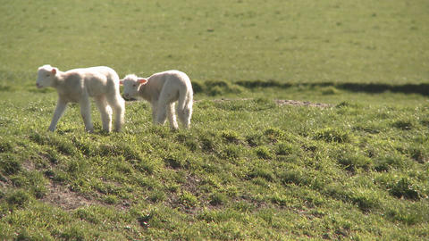 lambs walk Stock Video Footage