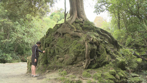 big tree and exposed roots Stock Video Footage