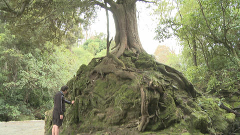 big tree and exposed roots Footage