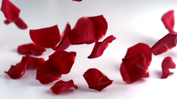 Red rose petals falling down Footage