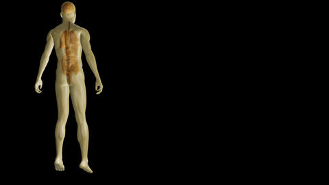 Revolving human form showing organs with copy spac Animation