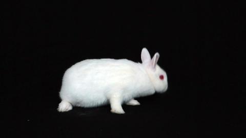 Fluffy bunny rabbit Footage