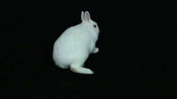 Fluffy white bunny rabbit Live Action