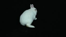 Fluffy white bunny rabbit Footage