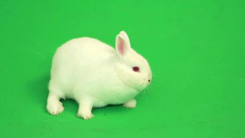 Fluffy white rabbit sniffing around him Footage