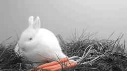 White bunny rabbit sniffing around the grass and a Footage