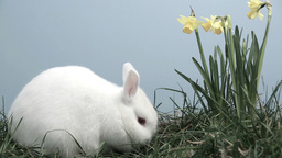Bunny rabbit sniffing around the grass with daffod Footage