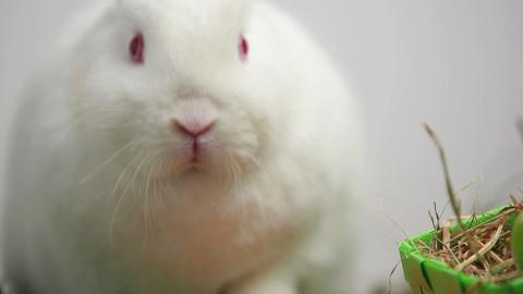 White bunny rabbit on white background Footage