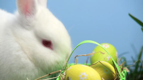 White bunny rabbit sniffing a basket of easter egg Footage
