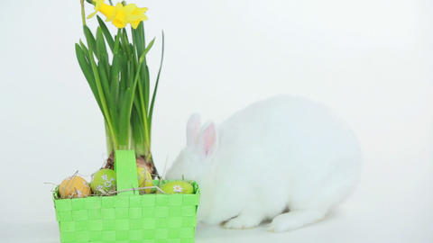 Easter bunny sniffing basket of eggs and daffodils Footage