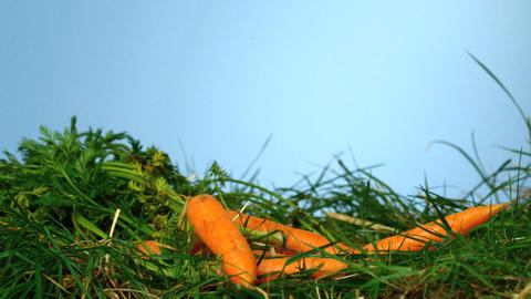 Carrots falling over grass on blue background Footage