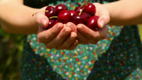 Close up on womans hands holding cherries Footage