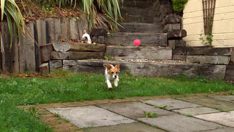 Dog running down steps and chasing a ball in the garden Footage