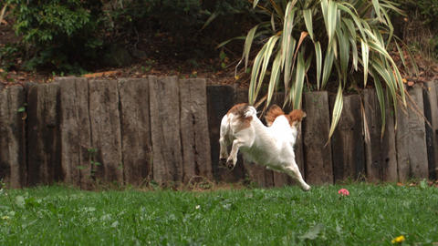 Dog Chasing A Ball In The Garden stock footage