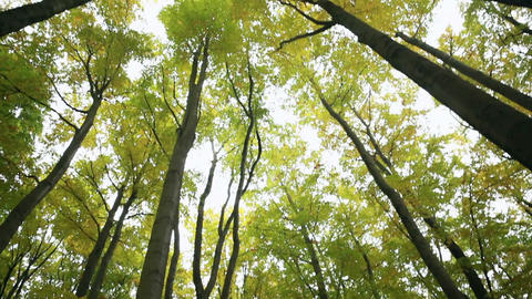 Low Angle Shot Of Majestic Giant Trees stock footage