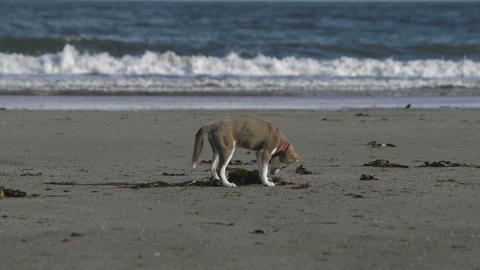 Cute dog digging in the sand Footage