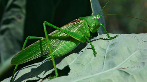 Grasshopper Stock Video Footage