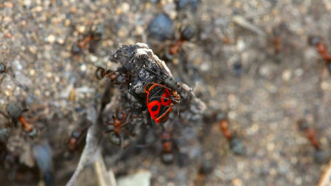 Fight ants with beetle Stock Video Footage