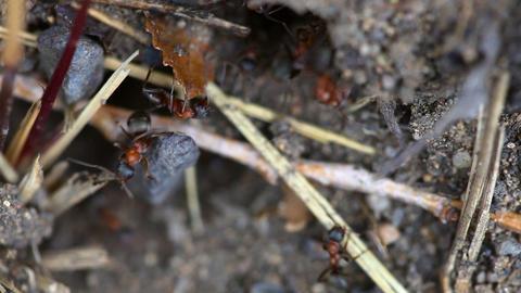 Ants nest. Macro Stock Video Footage