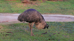 Emu Bird Footage