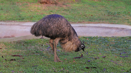 Emu Bird Stock Video Footage