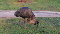 Emu Bird Stock Video Footage