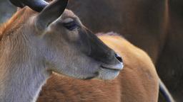 Eland Antelope Footage