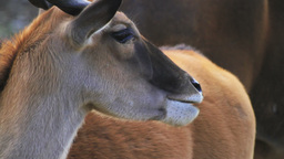 Eland Antelope Stock Video Footage