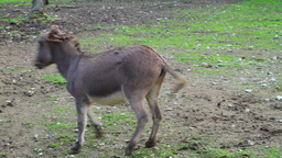 Funny footage of donkey eland fight Stock Video Footage