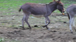 Funny footage of donkey eland fight Footage