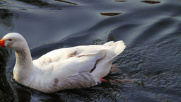 White Goose Swimming Stock Video Footage