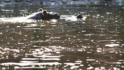 Hippo Swimming Stock Video Footage