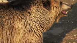 Brown Bear Stock Video Footage