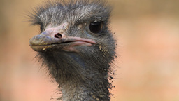 Ostrich Bird, Close-up Stock Video Footage