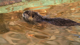 Nutria Swimming Stock Video Footage