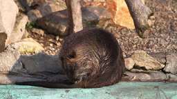 Nutria Cleaning Itself Stock Video Footage