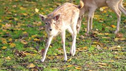 Two deer grazing grass Footage