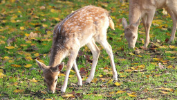 Two deer grazing grass Stock Video Footage
