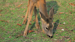 Roe Deer Grazes The Grass Stock Video Footage