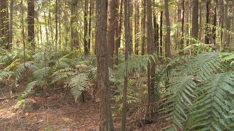 redwood forest and ferns Stock Video Footage