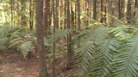 redwood forest and ferns Footage