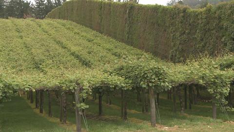 Kiwifruit orchard Stock Video Footage