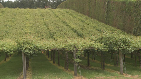 Kiwifruit orchard Footage